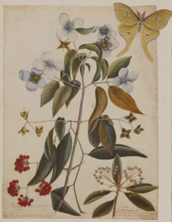 Philadelphus, Smilax and the Four Ey'd Night Butterfly
