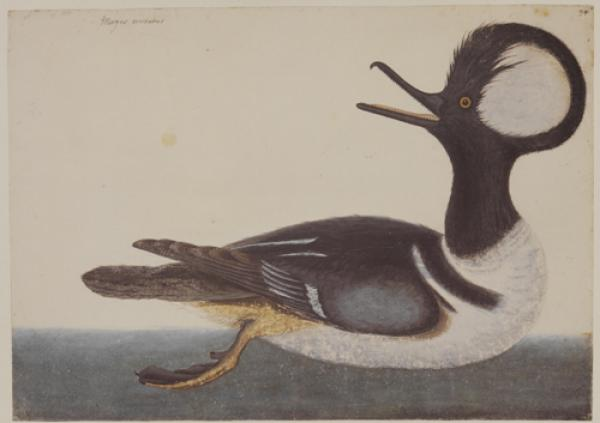 The Round Crested Duck