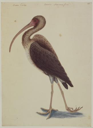 The Brown Curlew