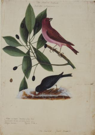 The Purple Finch , The Snow Bird, and the Tupelo Tree
