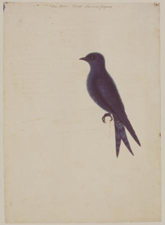 The Purple Martin
