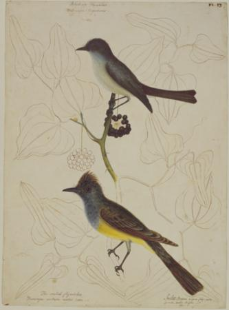 The Crested Fly Catcher and Blackcap Fly Catcher