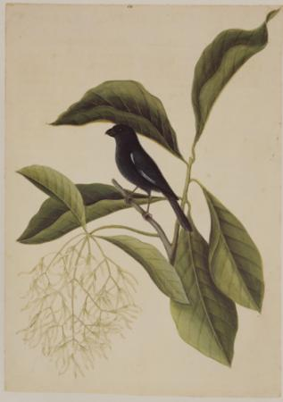 The Little Black Bulfinch and the Fringe Tree
