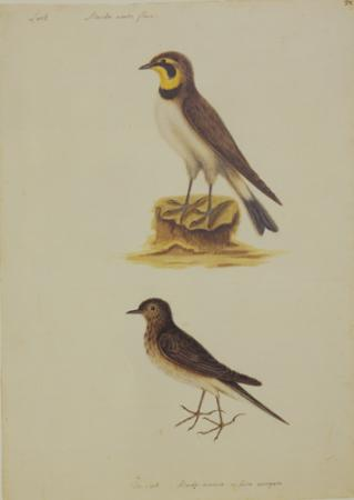 The Lark and the Titlark