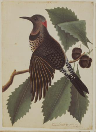 The Goldwinged Woodpecker and the Chesnut Oak