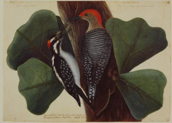 The Red Bellied Woodpecker and the Hairy Woodpecker